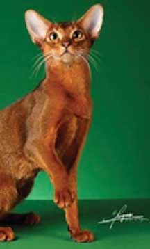 CFA Abyssinian Breed Council